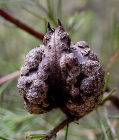 Mountain devil - Seed pod of Hakea gibbosa (Family: Proteaceae).  The seed pods remain closed till stimulated to open by fire.