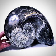 Polished goniatite ammonoid