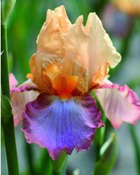 peach picotee iris