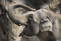 Elephant at the Oregon Zoo - Sept 2012