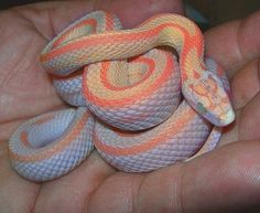 Bubblegum snow morph corn snake