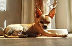 #Chihuahua Meet Jacky,  our new doggie #TooCute