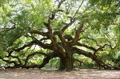 Angel Oak, Charleston, SC  in excess of 1500 years old