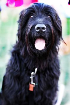 Black Russian Terrier.  Black Russian Terriers are confident, calm, highly intelligent, brave and loyal. It should never be timid. The Black Russian Terrier may seem aloof, but needs human companionship and bonds deeply to its family.  Weight can get to 132 pounds  Height can get to 30 inches (2ft 6in)