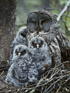 Great Grey Owl & Her Chicks