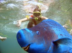 The Derpiest Fish You Ever Did See | The Blue Parrotfish.  This looks like what I saw just above the coral in American Samoa.  It was so vivid....just breathtaking!  It was my favorite spotting of the swim.
