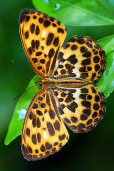 Fritillary butterfly, characterized by brownish wings marked with black and silver