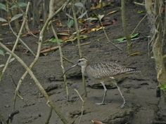 Costa Rica, Whimbrel