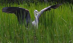 Great Blue Heron in Maine