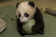 Baby panda cub plays with his ball during his 18th exam at the San Diego Zoo. Ridiculous video on ZooBorns.