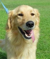 Adoptable Golden Retrievers - Rescue one today!