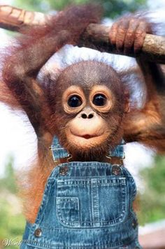 Baby monkey in dungarees
