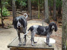 bluetick coonhound Puppies at Bluetick 1 kennels, blueticks, bluetick1kennels.com