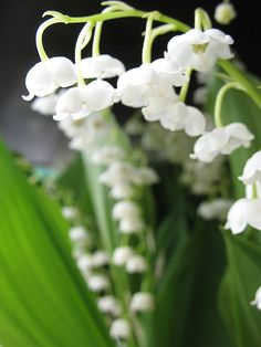 ~ beautiful lily-of-the-valley