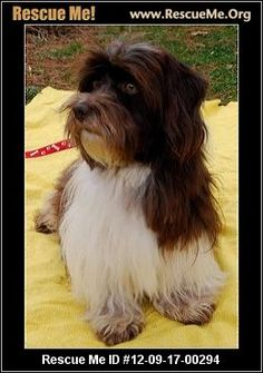 This dog deserves a very good home — California Havanese Rescue — ADOPTIONS —RescueMe.Org