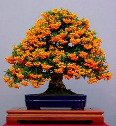 Fire Thorn Bonsai Tree Full Fruit... Beautiful !!!