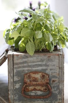 growing herbs, wooden boxes, wood boxes