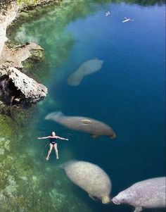 swimming with manatees...No big deal...