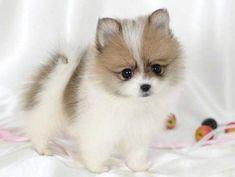 adorable tea cup pomeranian puppy