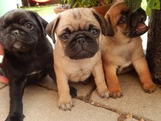 Cute Black, Fawn and Apricot Pug Puppies