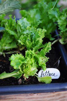 Grow lettuce in your backyard