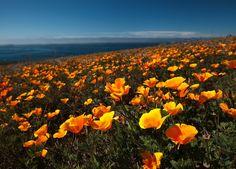 Poppies by Louie Schwartzberg