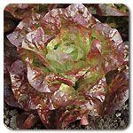 Organic Roxy Lettuce