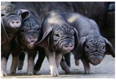 The Meishan pig is a sub-group of the Taihu pig and is a small to medium-sized breed with large drooping ears, and wrinkled black skin. Native to a mild climate in Southern China, the breed is best known for its large litters of 15-16 piglets. Meishan pigs are perhaps one of the most prolific breeds of pig in the world. It is quite common to have two litters per year.