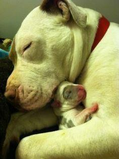 Sweet mommy  ♥ Pit bull Love ♥♥