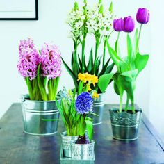 Spring bulbs in pots for in the home.