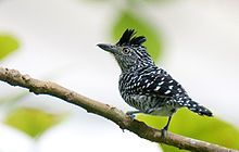 Barred Antshrike , Costa Rica