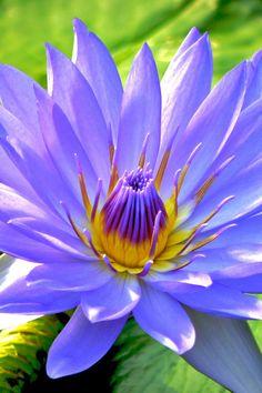 Fresh Blue Water Lilies