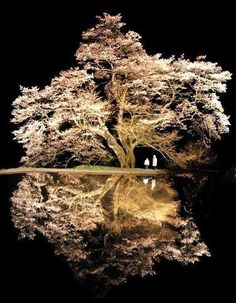 Cherry tree of 800 years old in Achi, Nagano, Japan