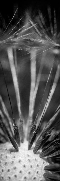 Macro dandelion seeds #tmophoto www.tmophoto.com