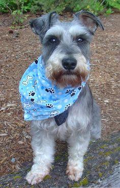 clouds, mini schnauzer, dogs, doggi, schnauzers, minis, miniatur schnauzer, puppi, dog breeds