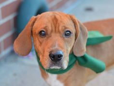 TO BE DESTROYED 10/21/14 Brooklyn Center -P  My name is TUKO. My Animal ID # is A1017090. I am a male brown and white beagle mix. The shelter thinks I am about 2 YEARS   I came in the shelter as a OWNER SUR on 10/10/2014 from NY 11372, owner surrender reason stated was NO TIME.  https://www.facebook.com/Urgentdeathrowdogs/photos/a.611290788883804.1073741851.152876678058553/890596964286517/?type=3&theater