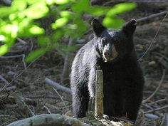 Black Bears and People - an activity  I authored  on Frolyc.    Frolyc - Create. Publish. Inspire!