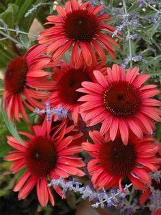 Echinacea ' Twilight'