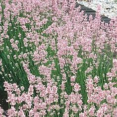 Pink Fragrant Lavender -- considering this variety to plant with my blue lavender