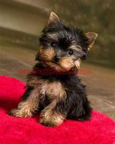 Teacup Yorkie i would love to have one of these....Christmas present anyone can get me!!