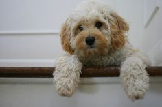 cavapoo - so sweet