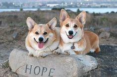 Hope for happiness is guaranteed with a Corgi!