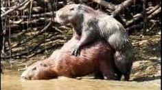 capybaras love eachother
