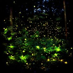 Fireflies or lightning bugs make light within their bodies. This process is called bio-luminescence.