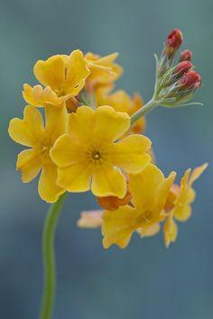 ~~yellow primula by photoart33~~
