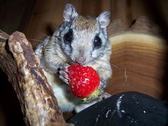 flying squirrels noms a strawberry!! Cuteeee!