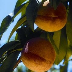 You can save big bucks growing peaches, apricots and nectarines from seeds. Growing fruit trees from seeds is remarkably easy on you and your wallet! data-pin-do=