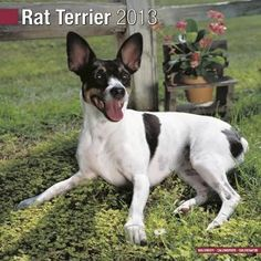 More Rat Terriers