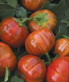 Eggplant, Turkish Orange: Native to Turkey, this heirloom variety is a favorite of Italian gardeners and chefs. The petite 18-22 plants produce abundant yields of round, red-orange 3 fruit. Eat when the fruits are young and in the green stage. Once orange, the fruits are excellent for stuffing. 65-85 days from transplant. Insect-resistant.
