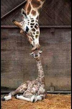 Kiko! Baby Giraffe at Greenville Zoo!